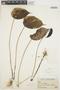 Pleurothallis cordata (Ruíz & Pav.) Lindl., PERU, J. F. Macbride 3608, F