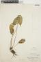 Pleurothallis cordata (Ruíz & Pav.) Lindl., PERU, E. P. Killip 22778, F