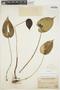 Pleurothallis cordata (Ruíz & Pav.) Lindl., PERU, J. F. Macbride 2206, F