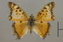 124979 Charaxes jahlusa d IN