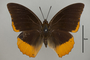 124996 Charaxes protoclea d IN