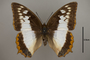 124997 Charaxes protoclea d IN
