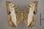 124997 Charaxes protoclea v IN