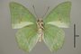 124999 Charaxes eupale v IN
