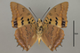 125009 Charaxes lucretius v IN