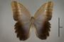125082 Caligo brasiliensis sulanus d IN
