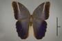 125089 Caligo euphorbus euphorbus d IN