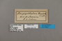 125110 Dasyophthalma rusina labels IN