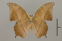125135 Charaxes pleione v IN