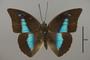 125138 Archaeoprepona demophon thalpius d IN