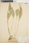 Pleurothallis ruscifolia image
