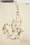 Mansoa parvifolia (A. H. Gentry) A. H. Gentry, PERU, E. P. Killip 23664, F