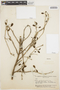 Mansoa parvifolia (A. H. Gentry) A. H. Gentry, BRAZIL, B. A. Krukoff 4799, F