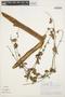 Mansoa parvifolia (A. H. Gentry) A. H. Gentry, PERU, A. H. Gentry 26802, F