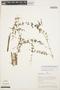 Mansoa parvifolia (A. H. Gentry) A. H. Gentry, PERU, A. H. Gentry 22039, F