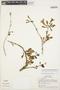 Mansoa parvifolia (A. H. Gentry) A. H. Gentry, PERU, B. Berlin 828, F