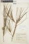 Casuarina equisetifolia L., COLOMBIA, G. Gutiérrez V. 18C 117, F