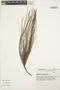 Casuarina equisetifolia L., BRAZIL, H. E. Strang 236, F