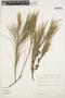 Casuarina equisetifolia L., PERU, T. C. Plowman 10969, F