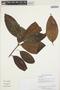 Miconia prasina (Sw.) DC., GUYANA, K. M. Redden 6369, F