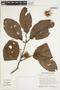 Sloanea brevipes Benth., FRENCH GUIANA, S. A. Mori 15506, F