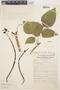 Erythrina edulis image