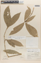 Amphitecna isthmica (A. H. Gentry) A. H. Gentry, Costa Rica, M. E. Mathias s.n., F