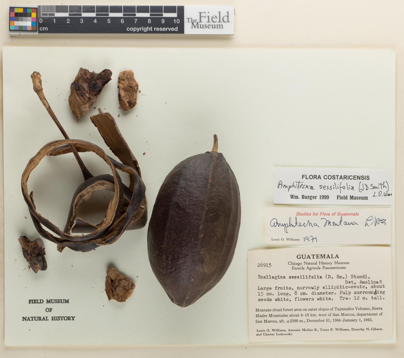 Amphitecna sessilifolia image