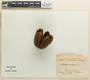 Flindersia australis R. Br., AUSTRALIA, M. S. Clemens 34, F