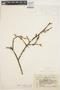 Erythrina smithiana image