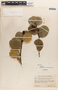 Ilex subrotundifolia Steyerm., VENEZUELA, B. Maguire 33715, F