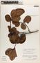 Ilex subrotundifolia Steyerm., VENEZUELA, J. A. Steyermark 113237, F