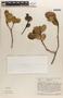 Ilex subrotundifolia Steyerm., VENEZUELA, J. A. Steyermark 75887, F