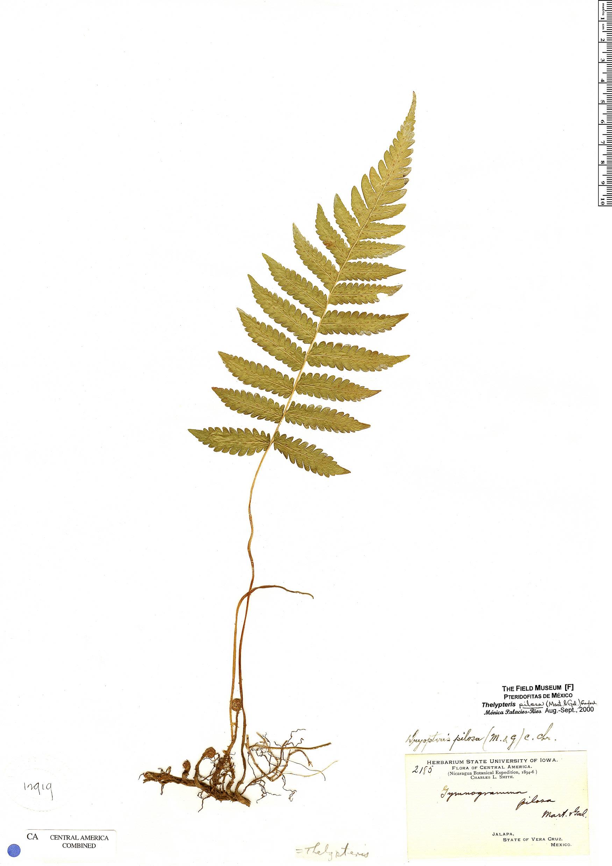 Specimen: Thelypteris pilosa