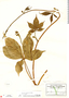 Merremia aegyptia image