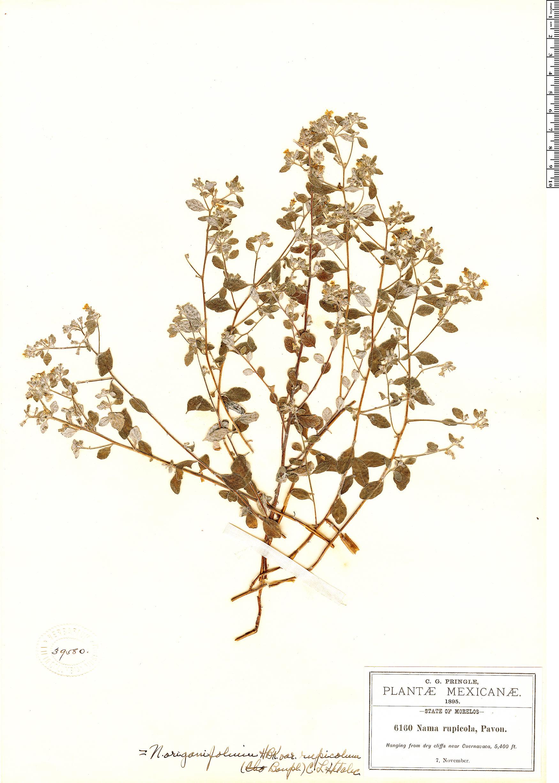 Specimen: Nama origanifolia
