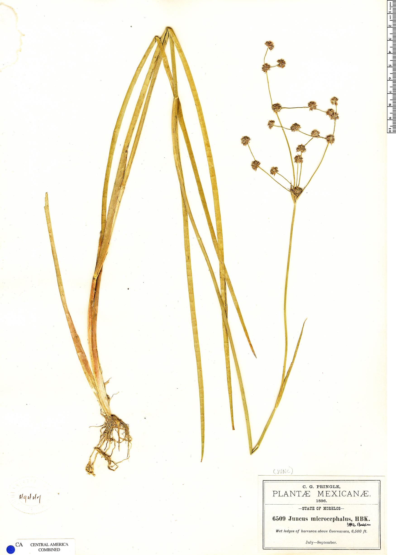Espécimen: Juncus microcephalus