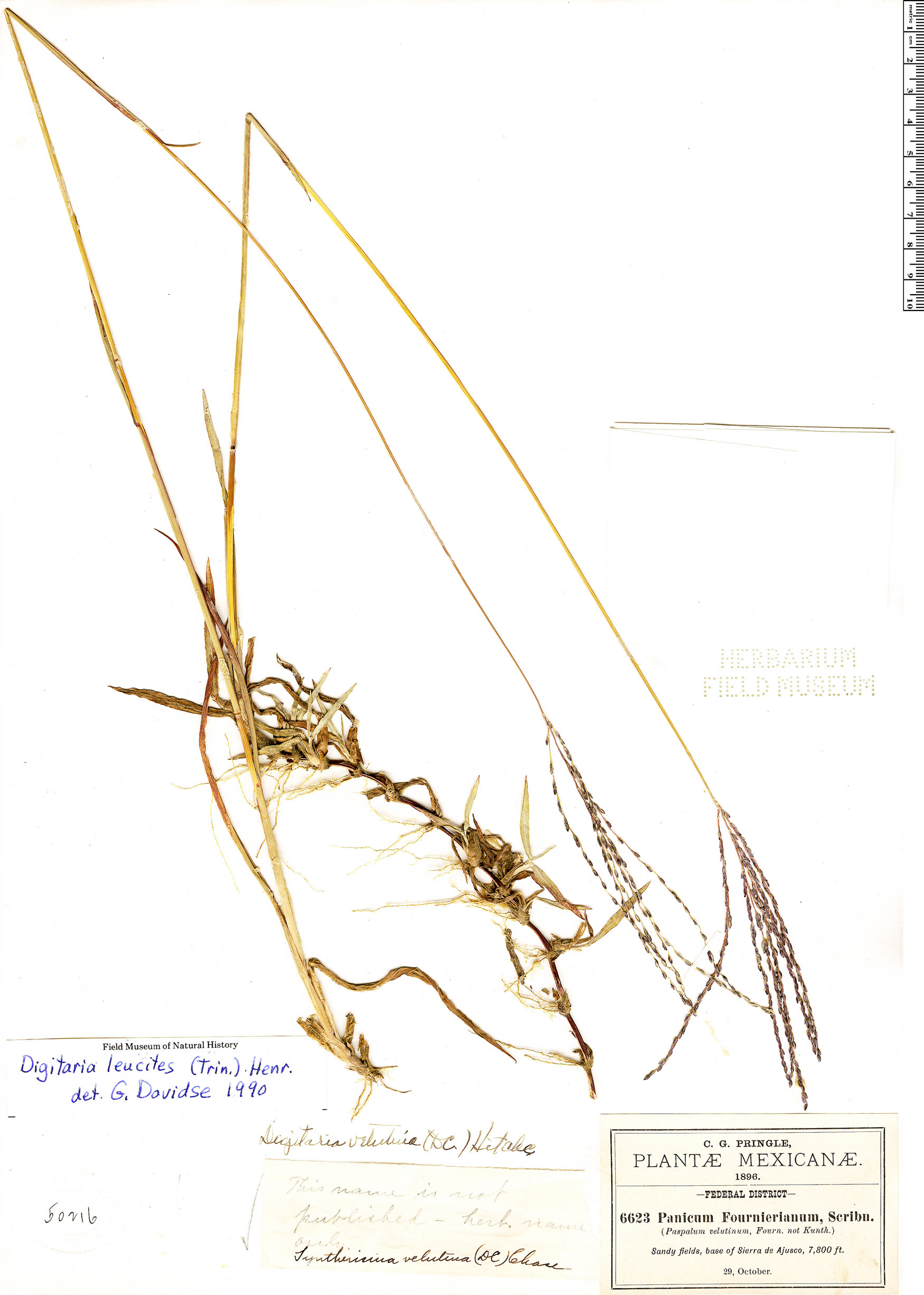 Specimen: Digitaria leucites