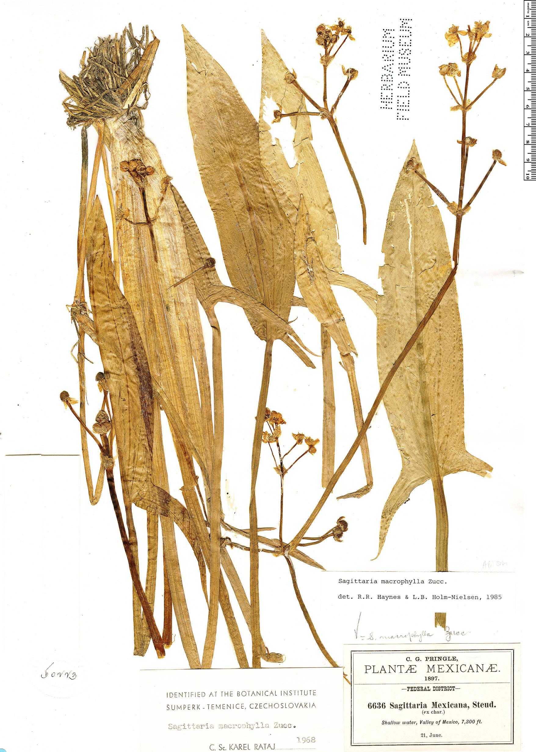 Specimen: Sagittaria macrophylla