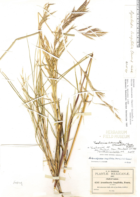 Specimen: Otatea acuminata