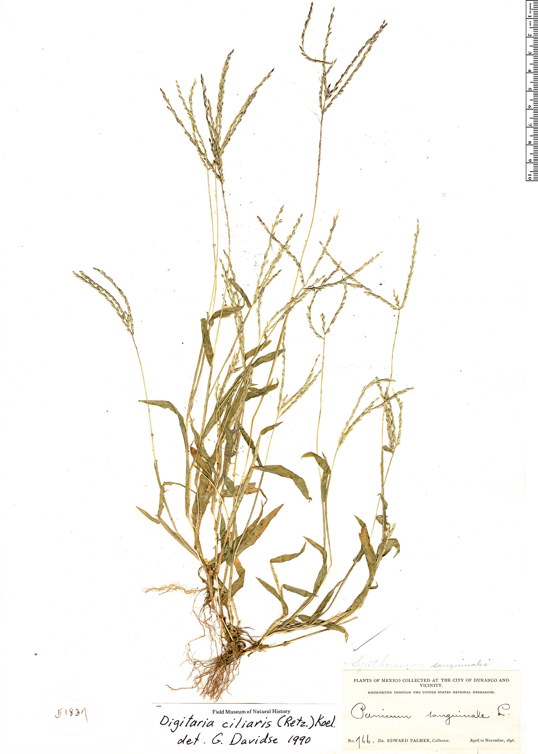 Specimen: Digitaria ciliaris