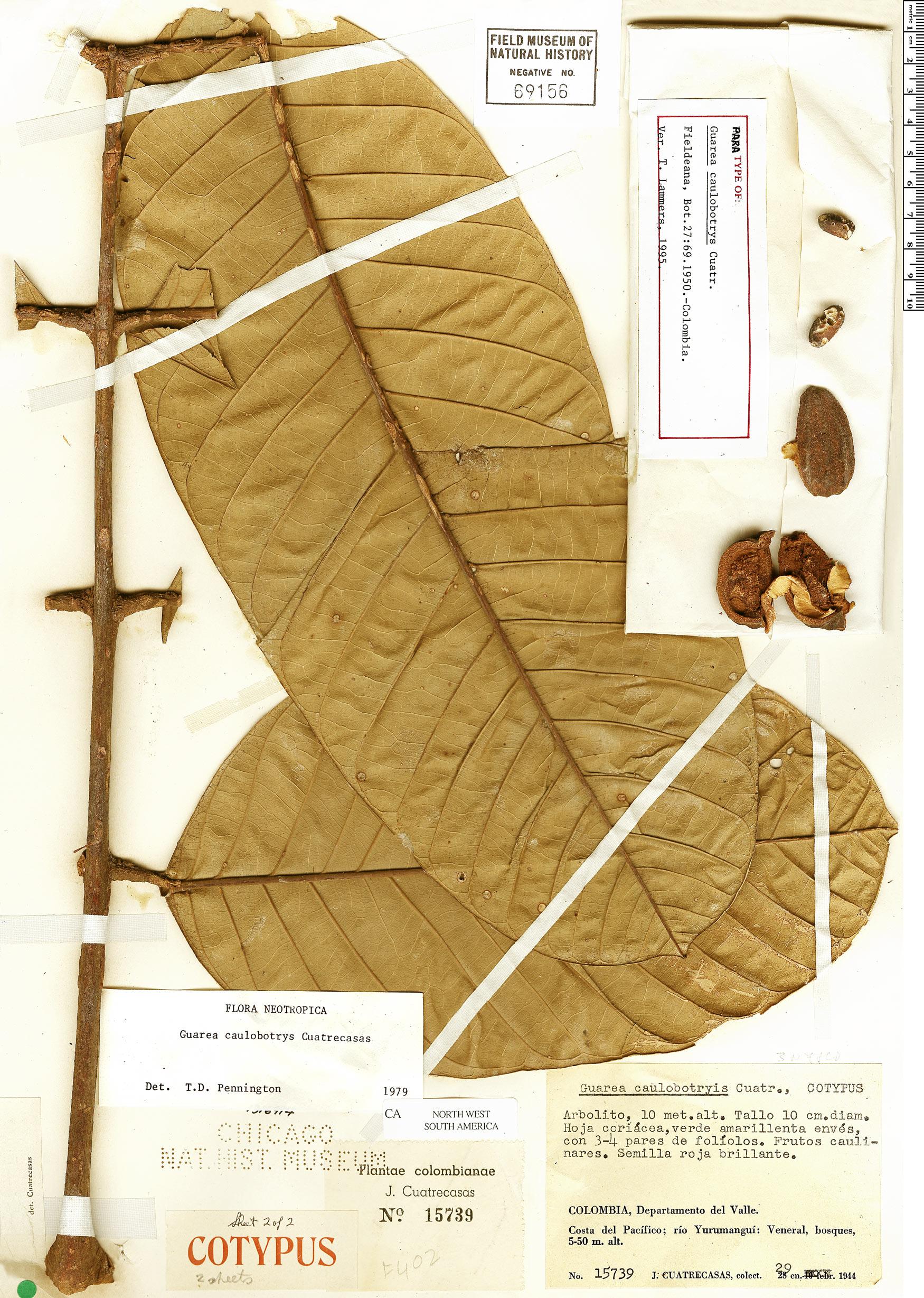 Espécimen: Guarea caulobotrys