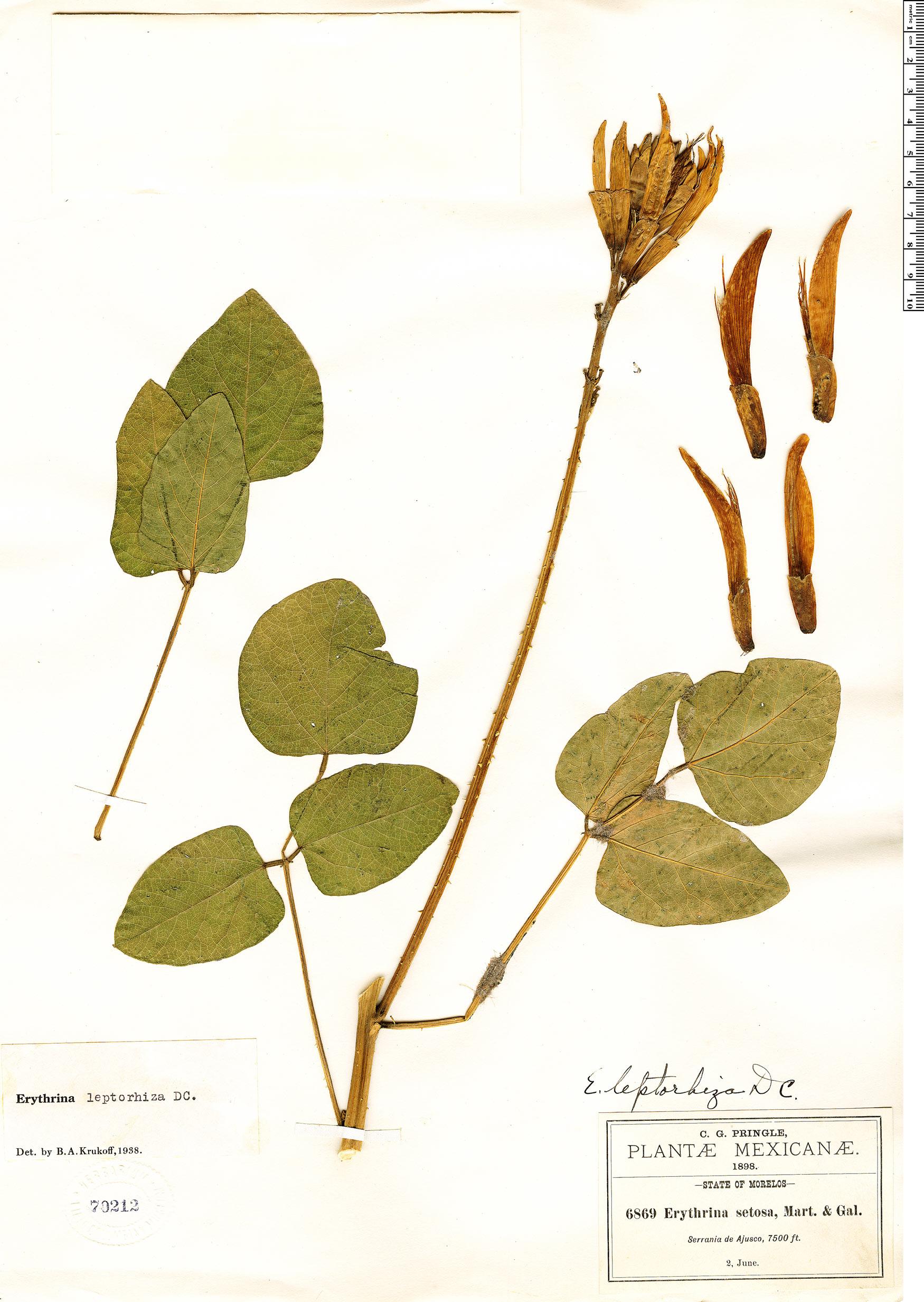 Specimen: Erythrina leptorhiza