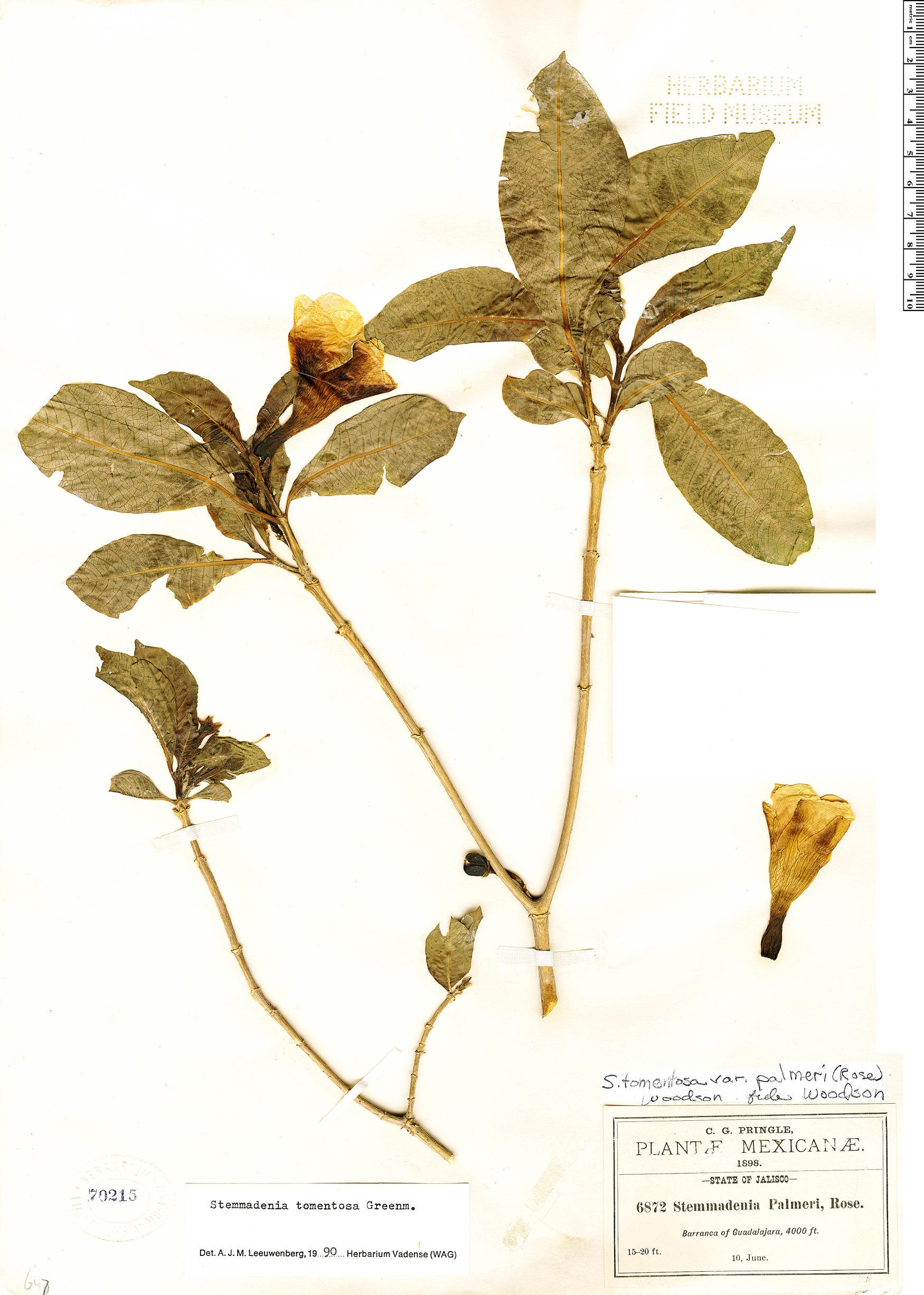 Specimen: Stemmadenia tomentosa