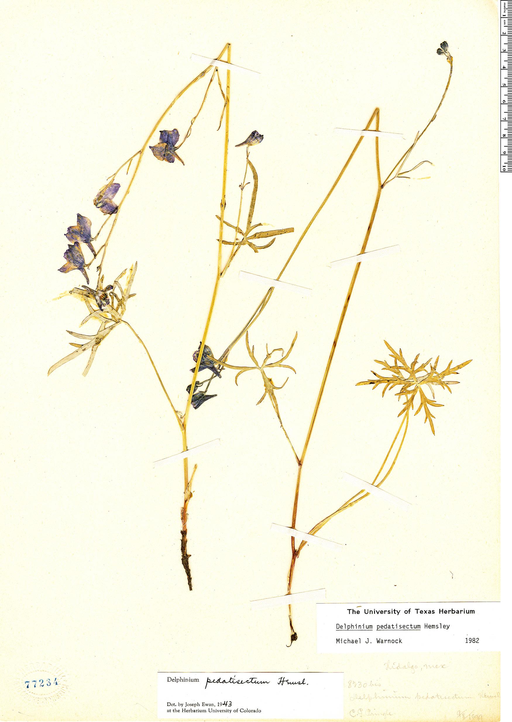 Specimen: Delphinium pedatisectum