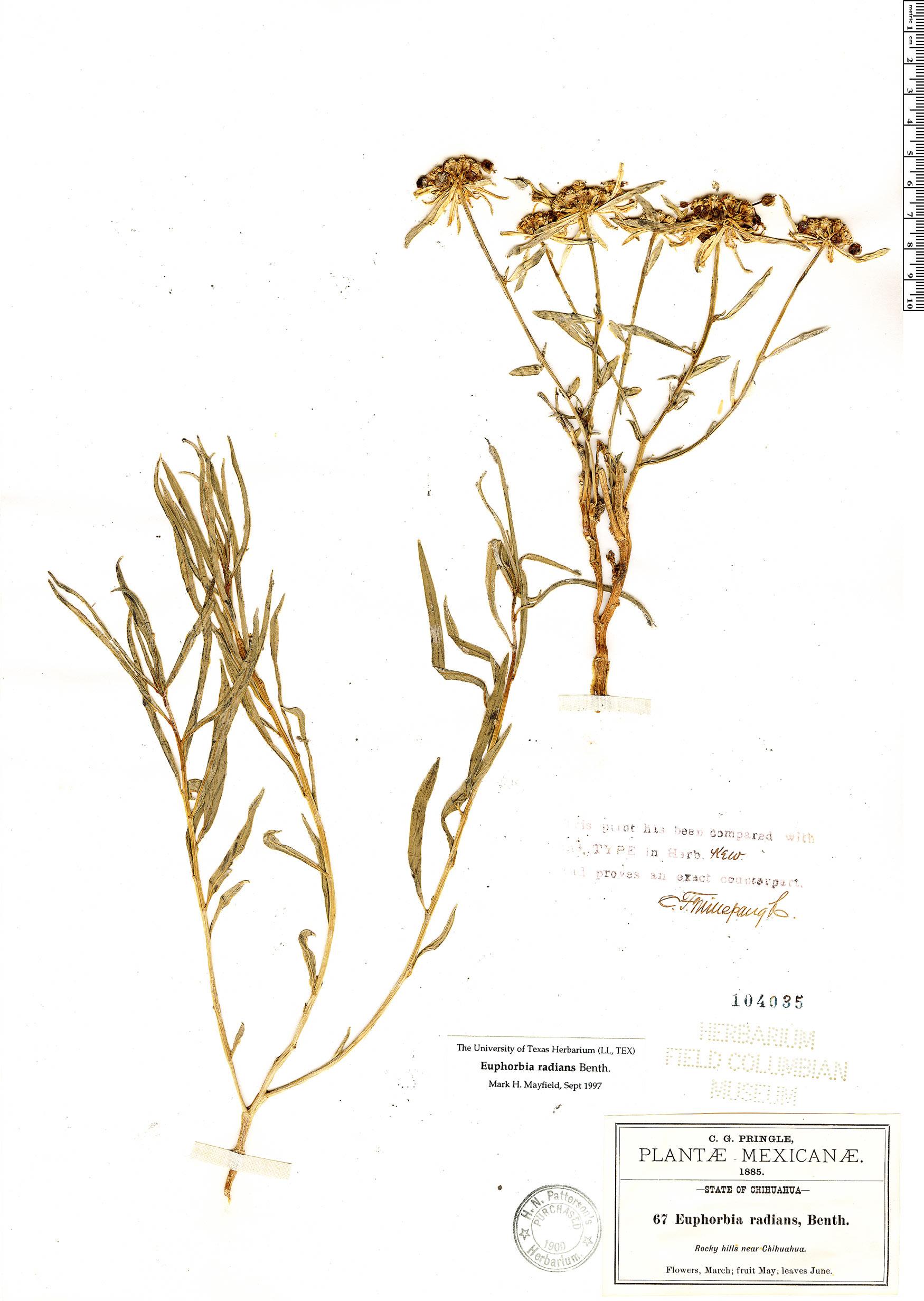 Specimen: Euphorbia radians