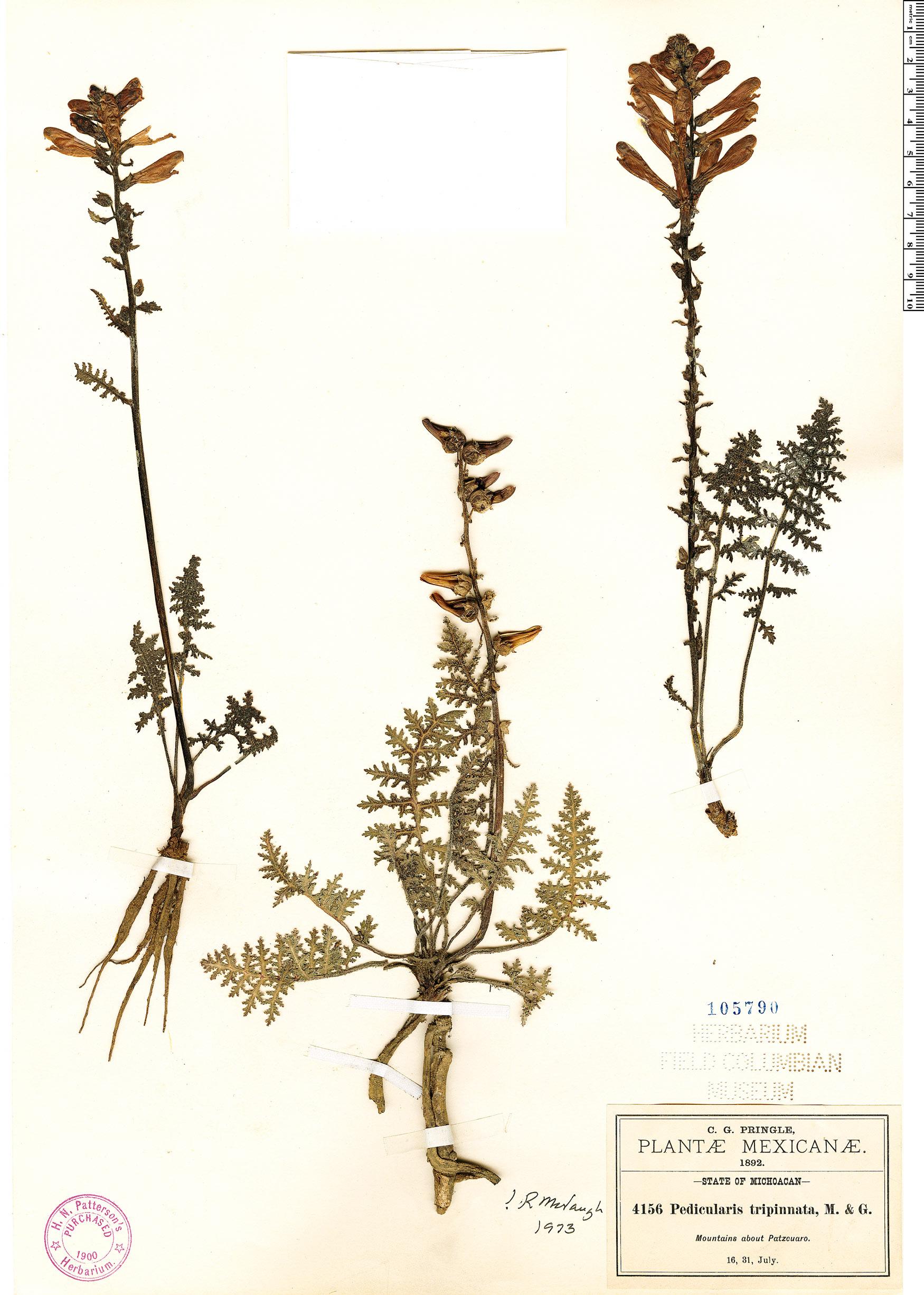 Specimen: Pedicularis tripinnata