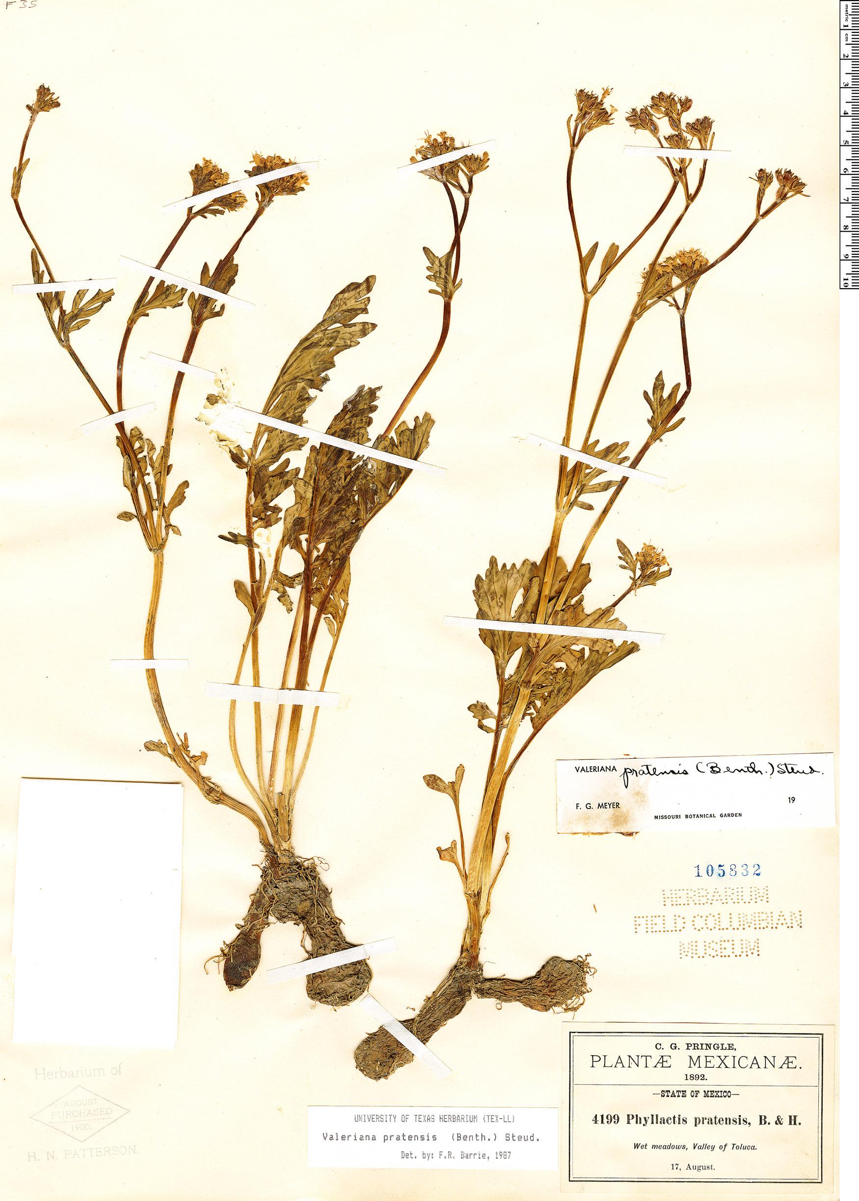Espécimen: Valeriana pratensis