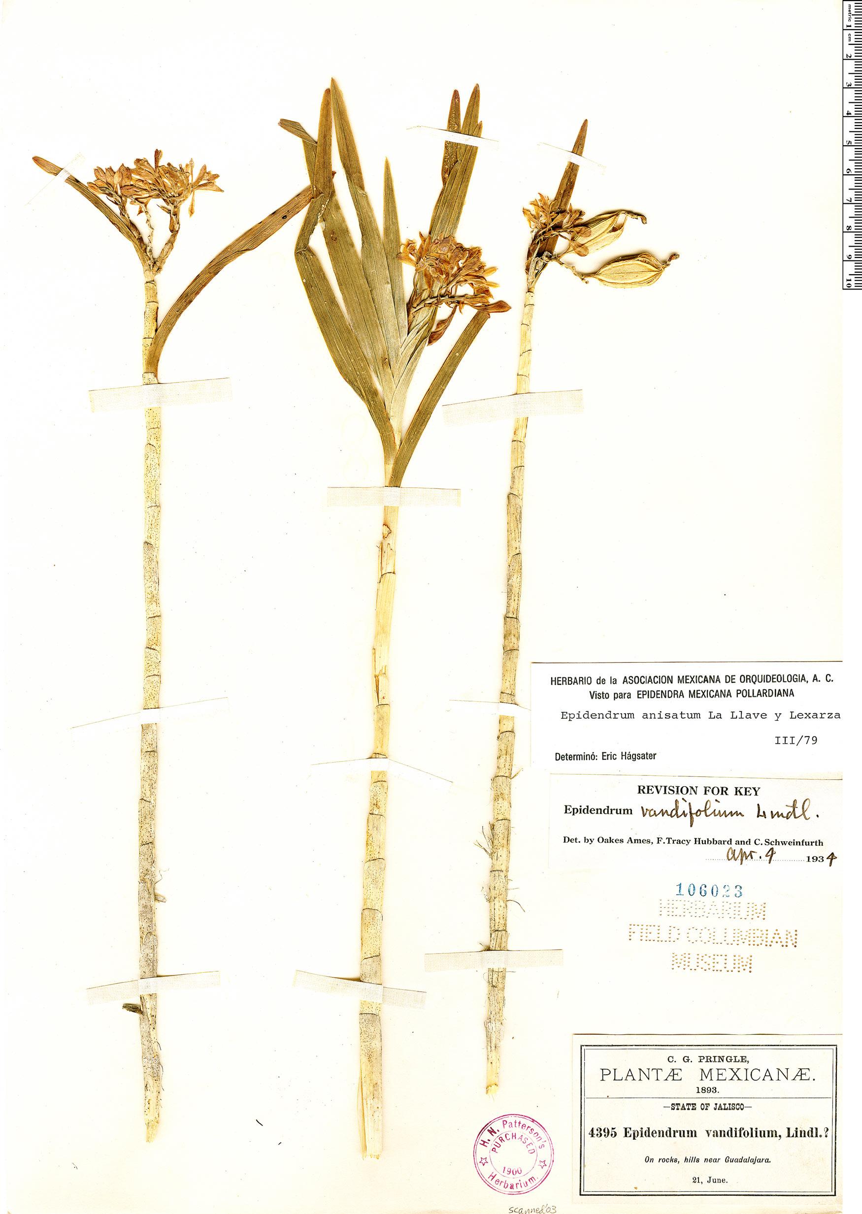 Specimen: Epidendrum anisatum