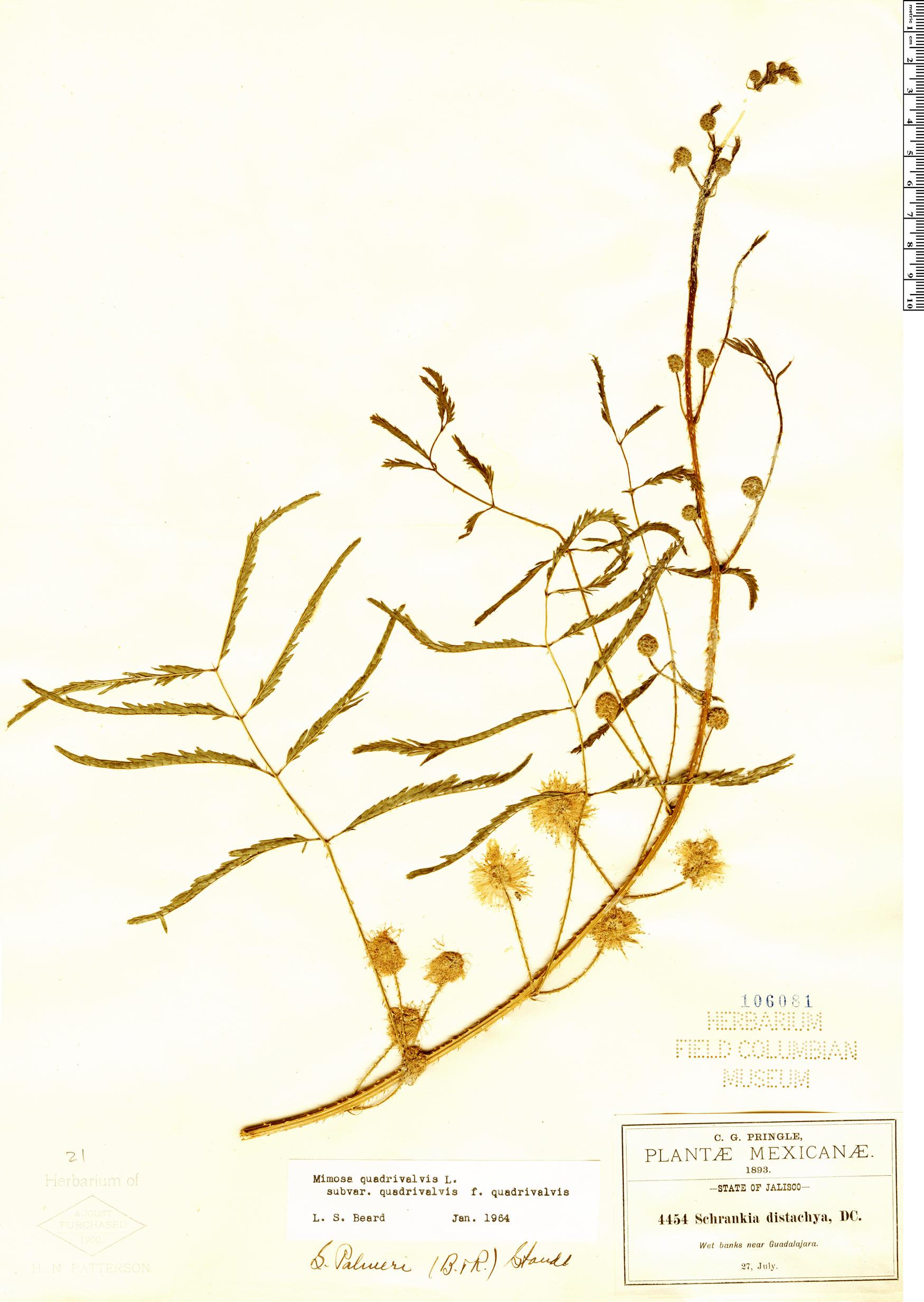 Specimen: Mimosa robusta